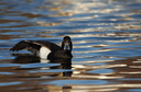 Tufted Duck, Male