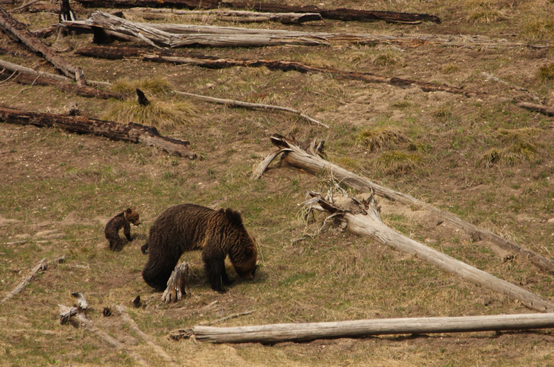 Grizzly with cubs